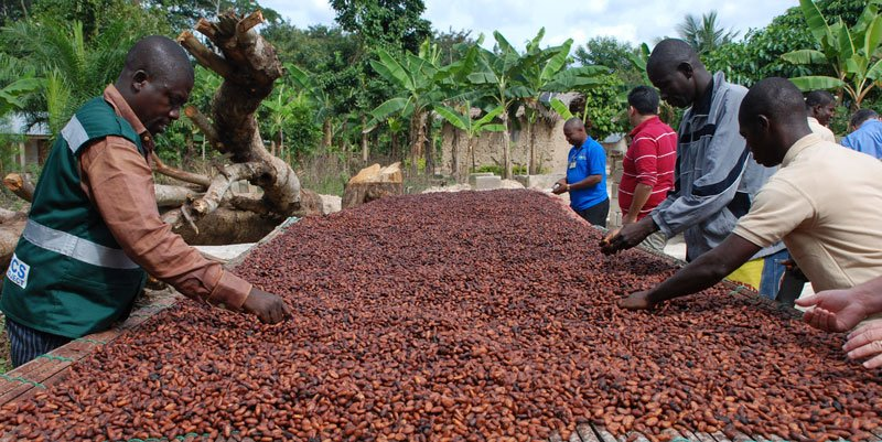 Costa d'Avorio - Produzione Cacao
